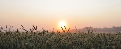 Fine light fog and sunrise over the cornfield Royalty Free Stock Photo