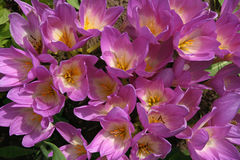 Fine lilac autumn crocus Alpine. Fine lilac petals of spring flowers on the sun Royalty Free Stock Images