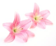 Fine Lilies Stock Image
