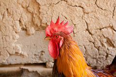 Fine looking rooster portrait Royalty Free Stock Image