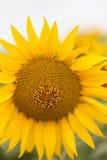 Fine luminosa del girasole su sul giacimento del girasole esterno Agricoltura e fare il giardinaggio Fotografia Stock Libera da Diritti