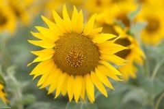 Fine luminosa del girasole su sul giacimento del girasole esterno Agricoltura e fare il giardinaggio Fotografie Stock Libere da Diritti