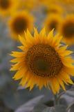 Fine luminosa del girasole su sul giacimento del girasole esterno Agricoltura e fare il giardinaggio Immagini Stock Libere da Diritti