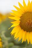 Fine luminosa del girasole su sul giacimento del girasole esterno Agricoltura e fare il giardinaggio Immagine Stock