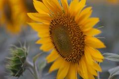Fine luminosa del girasole su sul giacimento del girasole esterno Agricoltura e fare il giardinaggio Fotografia Stock