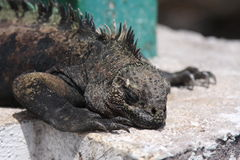 Fine marina dell'iguana del Galapagos in su Immagine Stock