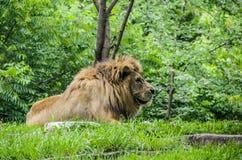 Fine maschio del leone su Immagine Stock Libera da Diritti