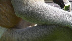 Fine maschio di larvatus del Nasalis della nasica sulla vista dettagliata animale endemico pericoloso del Borneo video d archivio
