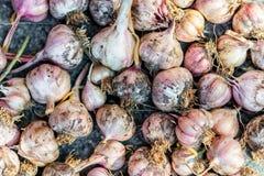 Fine matura fresca dell'aglio su fondo e su struttura Fotografia Stock