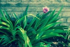 Fine molto bella sulla foto del tulipano Sguardo piacevole del giardino Immagini Stock