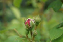 Fine morbida del fondo di Rosebud sulla natura verde Fotografia Stock Libera da Diritti