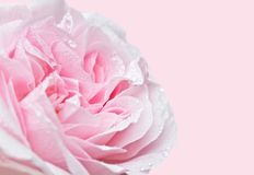 Fine morbida di Rosa del fuoco su fotografie stock libere da diritti