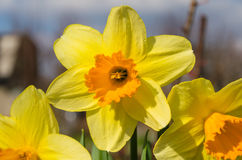 Fine narcissus. Summer yellow daffodil in the garden royalty free stock photos