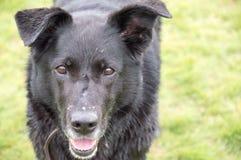 Fine nera dell'incrocio di Labrador su Fotografia Stock Libera da Diritti