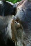 Fine nera della mucca del Angus in su Fotografia Stock