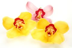 Fine orchid Royalty Free Stock Photo