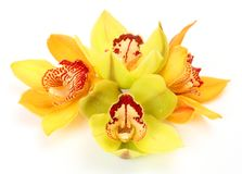 Fine orchids Royalty Free Stock Photos