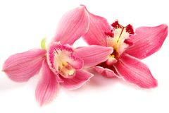 Fine orchids Royalty Free Stock Photo