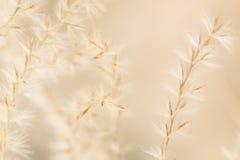 Fine ornamentale dell'erba su fondo Fotografia Stock Libera da Diritti