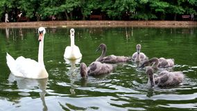 Fine Pair of white swans floating on the water with offspring. Birds in the contact zoo swim, visitors feeding swans,. Taking care of animals in captivity stock video footage