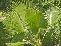 Fine palm leaves Stock Photo