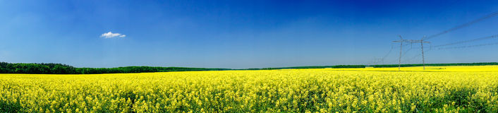 Fine panorama of  rapefield and blue sky. Stock Photo