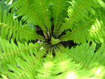 Fine pattern from leaves of fern Stock Images