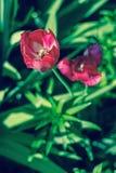 Fine piacevole sulla foto del tulipano Giardino piacevole Fotografia Stock Libera da Diritti