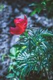 Fine piacevole sulla foto del tulipano Giardino piacevole Immagini Stock