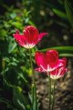 Fine piacevole sulla foto del tulipano Giardino piacevole Fotografie Stock