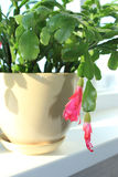 Fine pink flower of Schlumbergera Royalty Free Stock Photography
