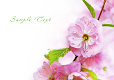 Fine pink flowers. Exotic bush has blossomed beautiful pink flowers Royalty Free Stock Photography