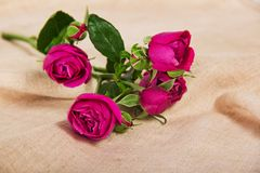 Fine pink roses on a canvas Royalty Free Stock Image