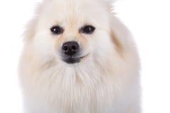 Fine pomeranian bianca del cane sul fronte Immagine Stock