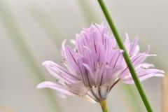 Fine porpora del fiore della erba cipollina su immagine stock libera da diritti