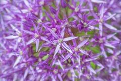 Fine porpora del fondo del fiore delle lampadine dell'allium su Immagine Stock