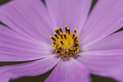 Fine porpora del giardino floreale su Fotografie Stock