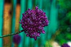 Fine porpora del mazzo di fiori su fotografie stock