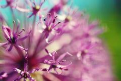 Fine porpora di fioritura del fiore dell'allium della bella molla su Fotografia Stock Libera da Diritti