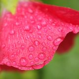 Fine rain water droplets on crimson flower petals.  Stock Photo