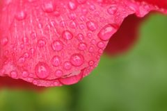 Fine rain water droplets on crimson petals Royalty Free Stock Photos