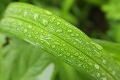 Fine rain water droplets on grass blade Royalty Free Stock Photo