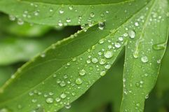 Fine rain water droplets on leaf.  Stock Photo