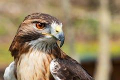 Fine reale maestosa dell'occhio del falco su fotografia stock libera da diritti