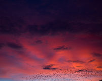 Fine red sunset and pack of crows Stock Photo