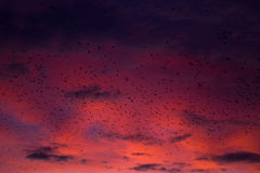 Fine red sunset and pack of crows Royalty Free Stock Photo