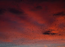 Fine red sunset and pack of crows Stock Image