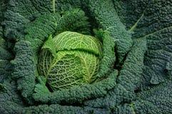 Fine riccia organica completa del cavolo verde su Immagine Stock