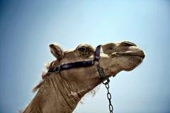 Fine rivolta verso l'alto dei cammelli fotografia stock libera da diritti