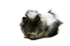Fine rodent Royalty Free Stock Photos